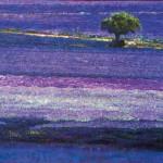 44.-Reznichenko-Alexander-(1968-)--Lavender-carpet----2016-----80-x-125-cm-----31,5-x-49-inch----Oil-on-Canvas_IGP2883